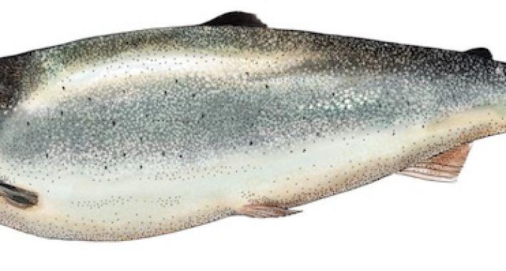 114-Salmon-illustration-710x380.jpg