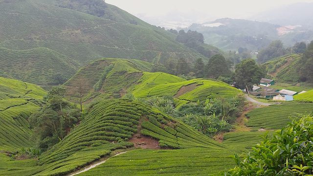 Theeplantages Maleisie