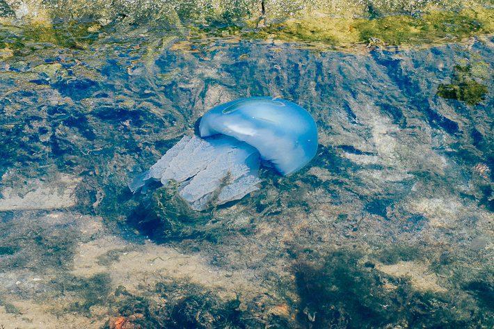 blauwe kwal