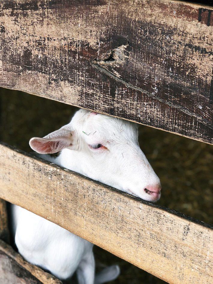 geitenboerderij ridammerhoeve